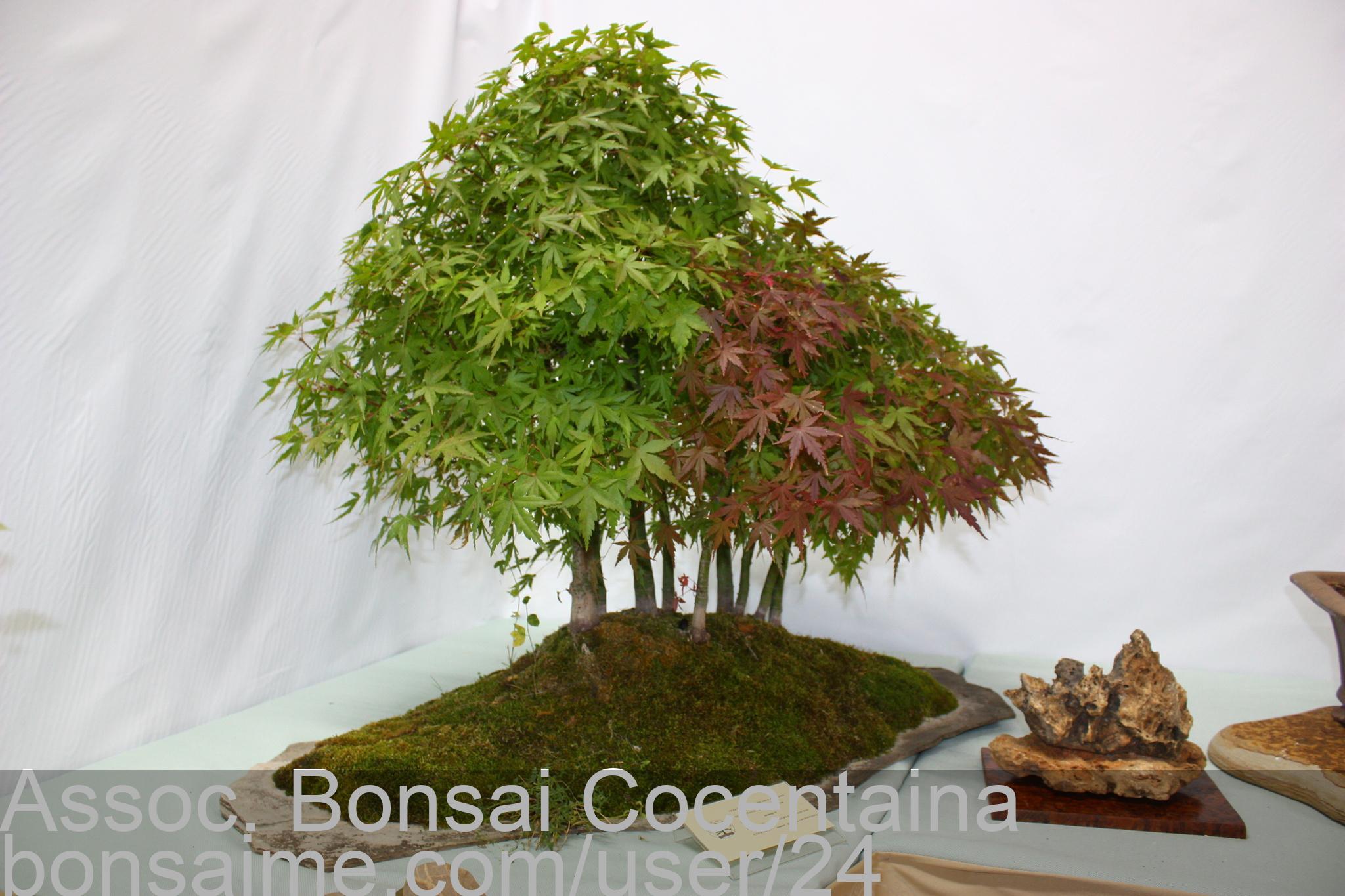Bonsai Acer Palmatum Bosque Assoc Bonsai Cocentaina