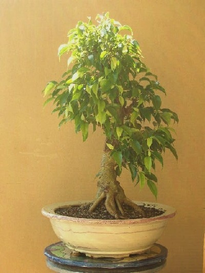 Bonsai ficus benjamina variedad nathasha celtis - Variedades de ficus ...