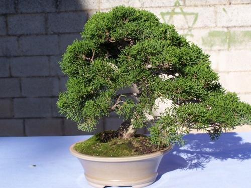 Bonsai Juniperus - Junipero - Assoc. Bonsai Cocentaina