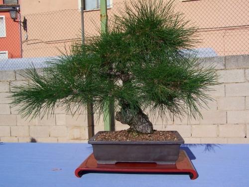Bonsai Pino Negro Japonés - Pinus - Assoc. Bonsai Cocentaina