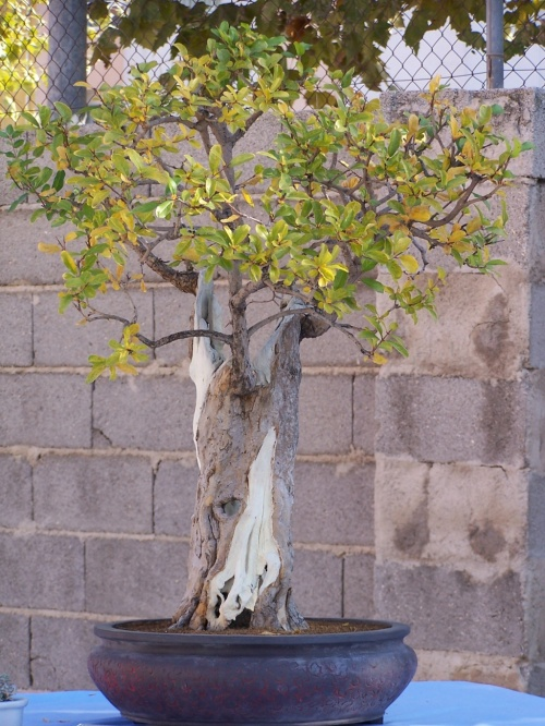 Bonsai Granado - Punica Granatum - Assoc. Bonsai Cocentaina