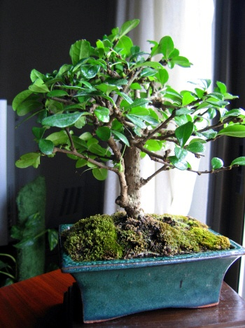 Bonsai Carmona - Angel sanchez