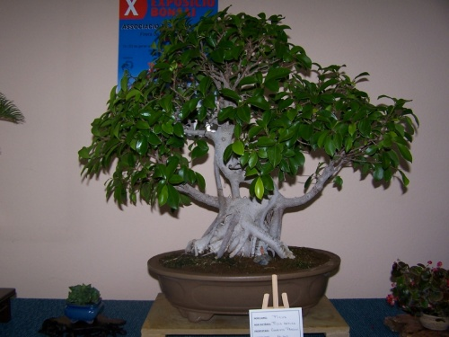 Bonsai Ficus Retusa - Assoc. Bonsai Muro