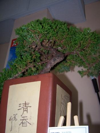 Bonsai Junipero - Juniperus Procumbe - Assoc. Bonsai Muro