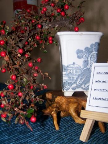 Bonsai Cotoneaster - Assoc. Bonsai Muro