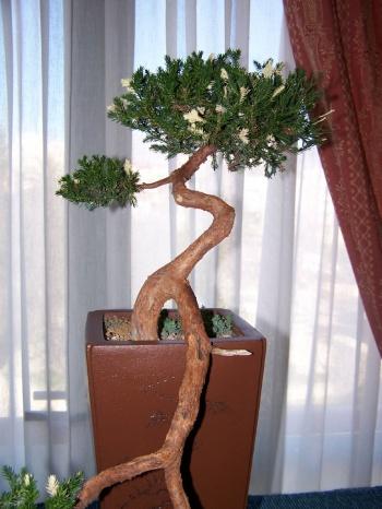 Bonsai Junipero - Juniperus variegata - Assoc. Bonsai Muro