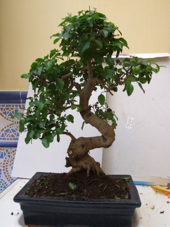 Bonsai ligustrum chino - PEDRO GALLEGO