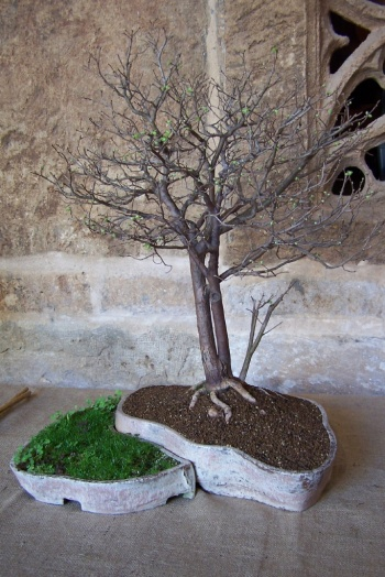Bonsai Olmo Negro - Ulmus Nigra - AVBONSAI