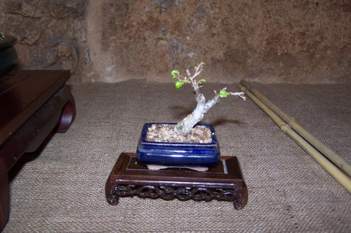 Bonsai 374 - AVBONSAI
