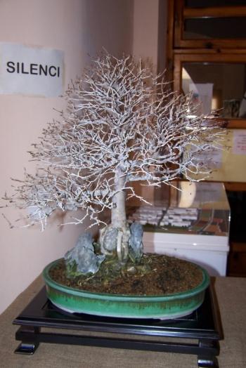 Bonsai Olmo Campestre - Ulmus Campestris - AVBONSAI