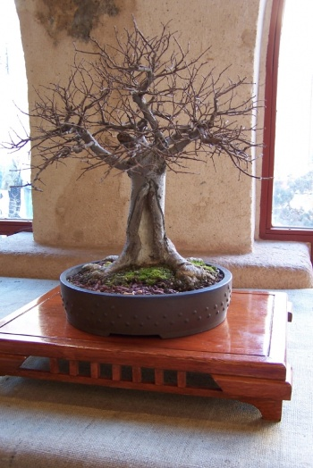 Bonsai Olmo Campestre - Ulmus Minor - AVBONSAI