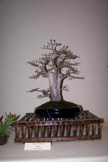 Bonsai Olmo - Ulmus Minor - cbvillena