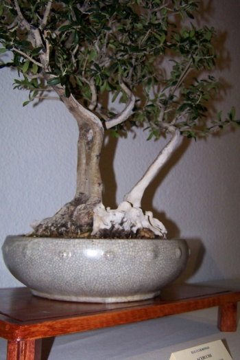 Bonsai Acebuche - Olea Europaea Sisvestrys - cbvillena