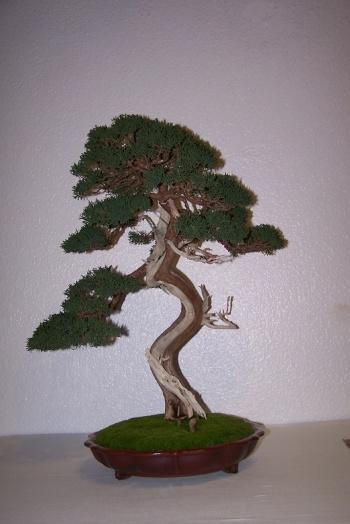 Bonsai 450 - cbvillena