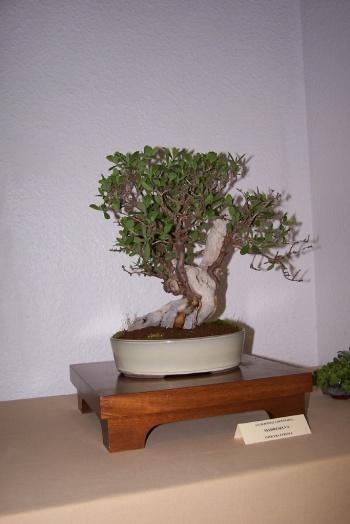 Bonsai Madreselva - Lonicera Etrusca - cbvillena