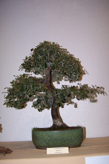 Bonsai Encina - Quercus Ilex - cbvillena