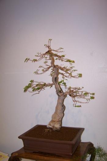 Bonsai Morera - Morus Alba - cbvillena
