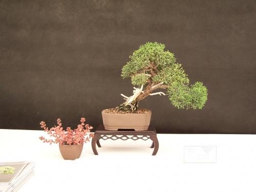 Bonsai Junipero Chino - Juniperus Chinesis - CBALICANTE