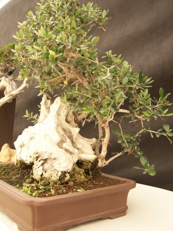 Bonsai Olivo - Olea Europaea - CBALICANTE