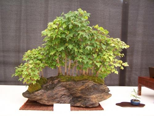 Bonsai Bosque Arces - Acer Buergerianum - CBALICANTE