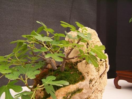 Bonsai Higuera - Ficus Carica - CBALICANTE