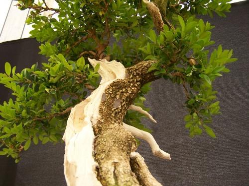Bonsai Boj - Boix - Buxus Sempervirens - CBALICANTE
