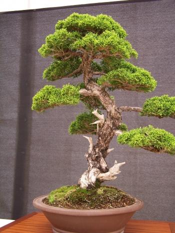 Bonsai Enebro Chino - Juniperus Chinensis - CBALICANTE