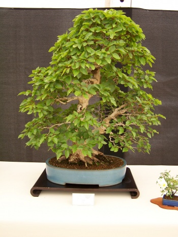 Bonsai Carpe - Carpinus Coreana - CBALICANTE