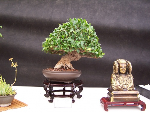 Bonsai Ficus Retusa - CBALICANTE