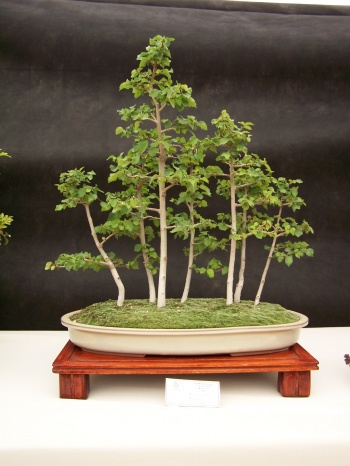 Bonsai Bosque de Olmos - Ulmus minor - CBALICANTE