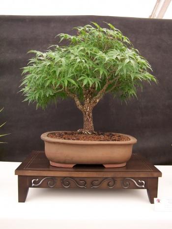 Bonsai Arce de 5 puntas - Acer Palmatum - CBALICANTE