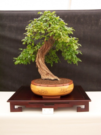 Bonsai Ciruelo - Prunera - Prunus Domestica - CBALICANTE