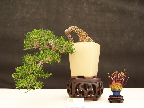 Bonsai Olivo estilo Cascada - CBALICANTE