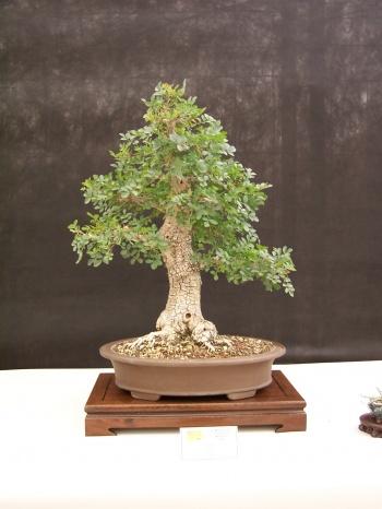 Bonsai Fresno - Freixe - Fraxinus Ornus - CBALICANTE