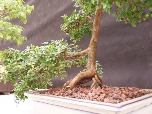 Bonsai Olmo Chino - Ulmus Parviflora - CBALICANTE