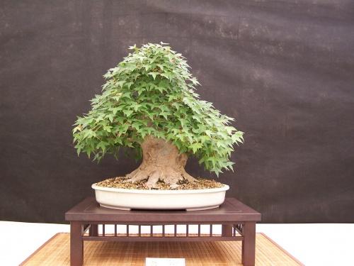 Bonsai Arce Japonés - Acer Buergerianum - CBALICANTE