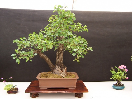 Bonsai Cerezo - Cirerer - Prunus Mahaleb - CBALICANTE