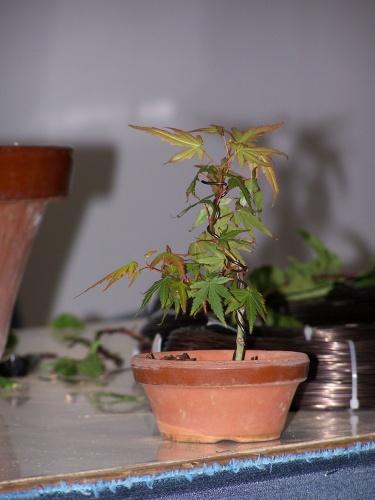 Bonsai Jaume Canals - Prebonsai Arce - bonsaime