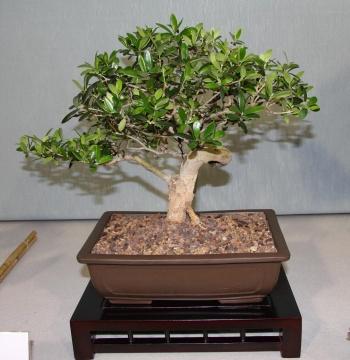 Bonsai 874 - bonsaipaterna