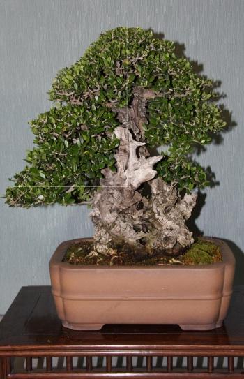 Bonsai 882 - bonsaipaterna