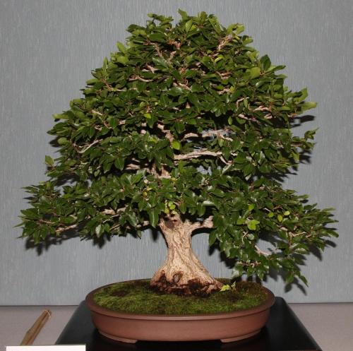 Bonsai 886 - bonsaipaterna