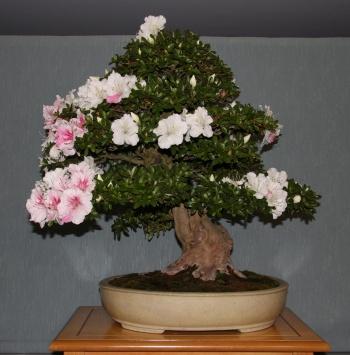 Bonsai 890 - bonsaipaterna