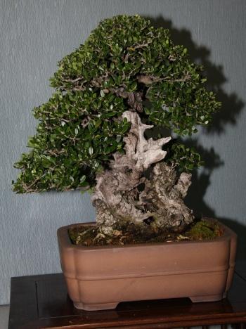 Bonsai 898 - bonsaipaterna