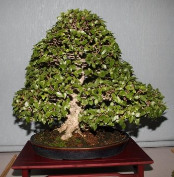 Bonsai 906 - bonsaipaterna