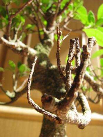 Bonsai Ficus Retusa - Enfoque cerca ramas secas - miguelangel