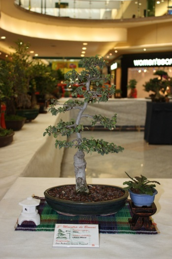 Bonsai Olmo - Ulmus Minor - ilicitano
