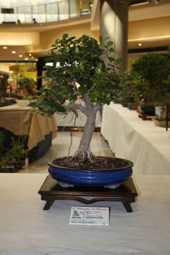 Bonsai Ficus Robustifolia - ilicitano