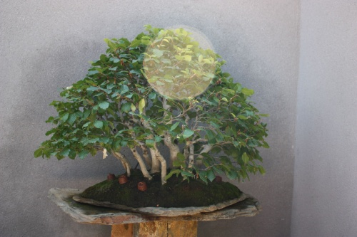 Bonsai Fagus Sylvatica - Fran Rives