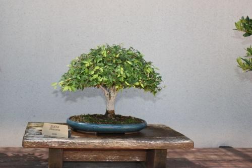 Bonsai Zelkova Serrata - Fran Rives