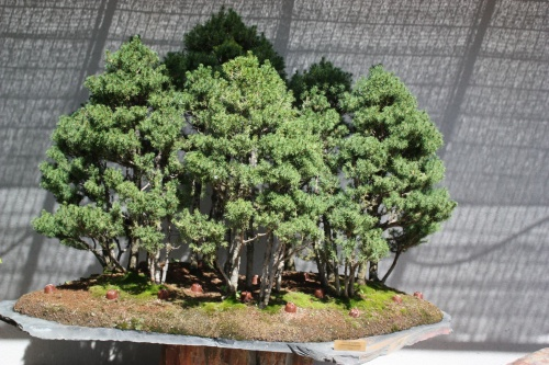 Bonsai Picea Albertina Glauca Conica - Fran Rives